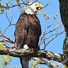 Bald Eagle defending the nest in Annada, Missouri.