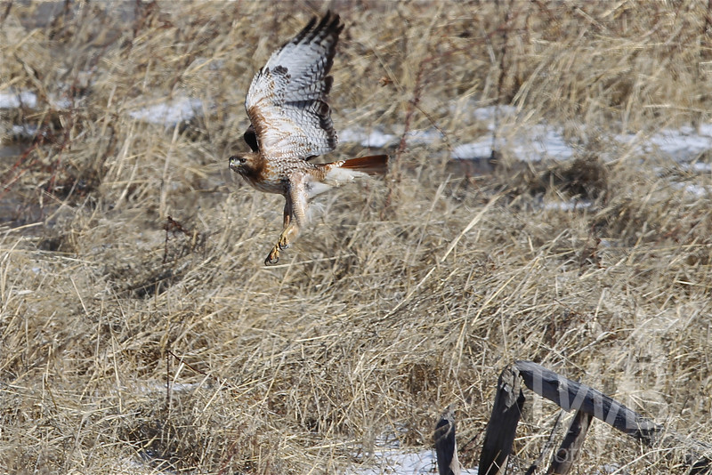 a Red-tailed Hawk in a quest for prey