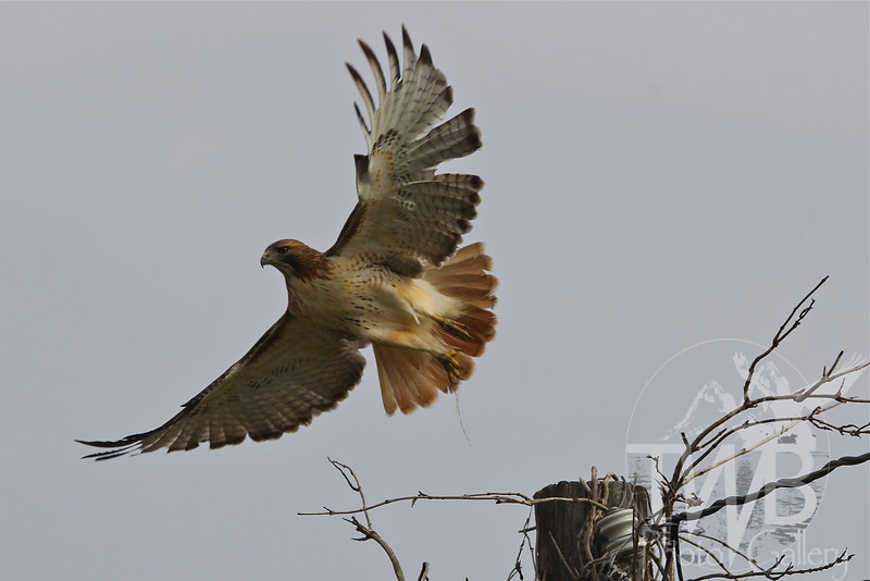 a Red-tail Hawk takes flight