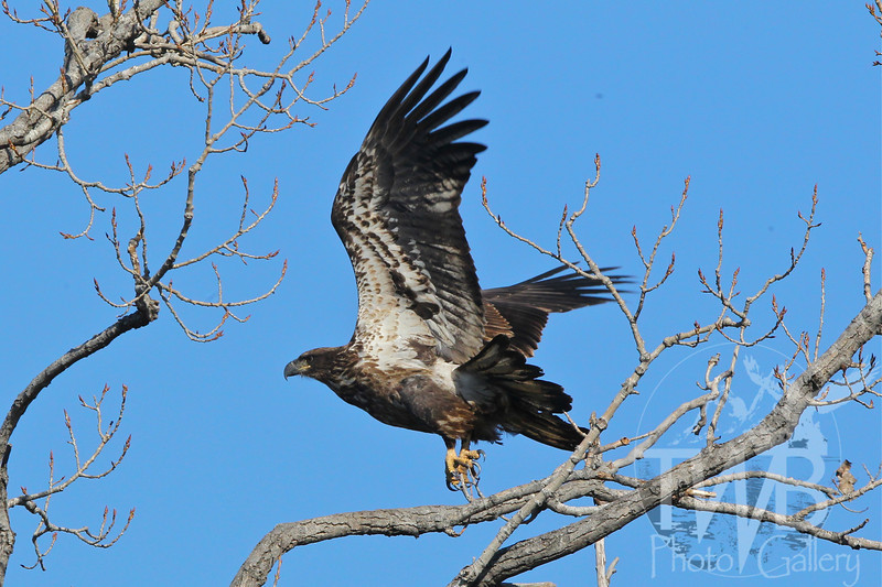 a immature Bald Eagle explodes from it's perch