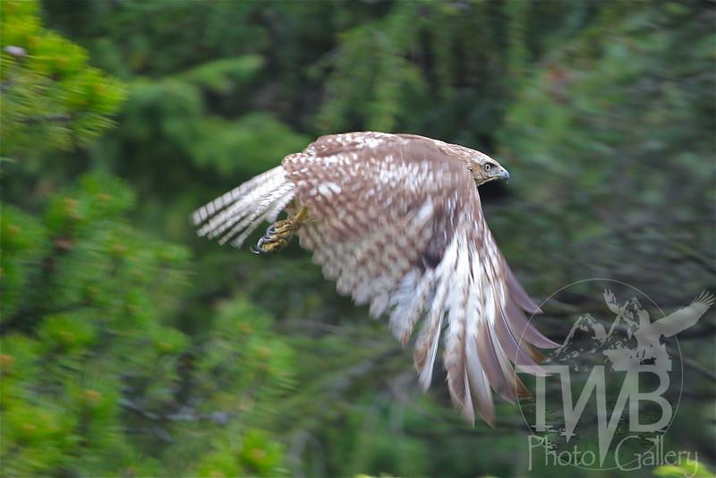 a Ferruginous Hawk, soaring through east Glacier N.P.