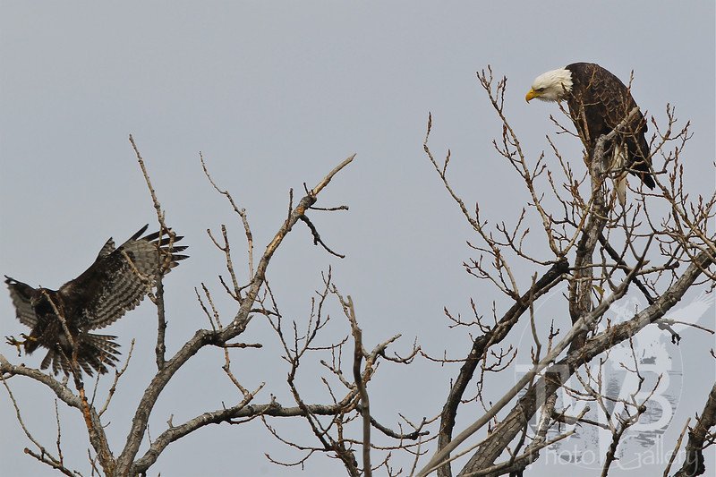 """"""" new to the neighborhood """", a Bald Eagle checks out a visitor, a Common Black Hawk"""