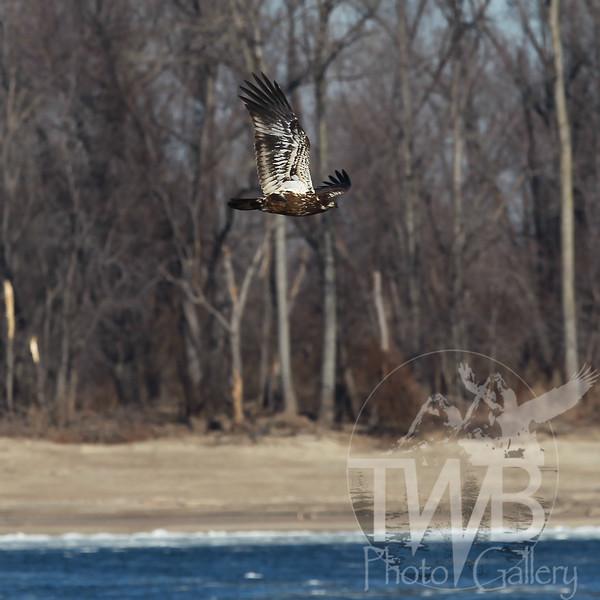 immature Bald Eagle on the Mississippi