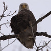 The glare of a Bald Eagle in the trees at Creve Coeur Lake.