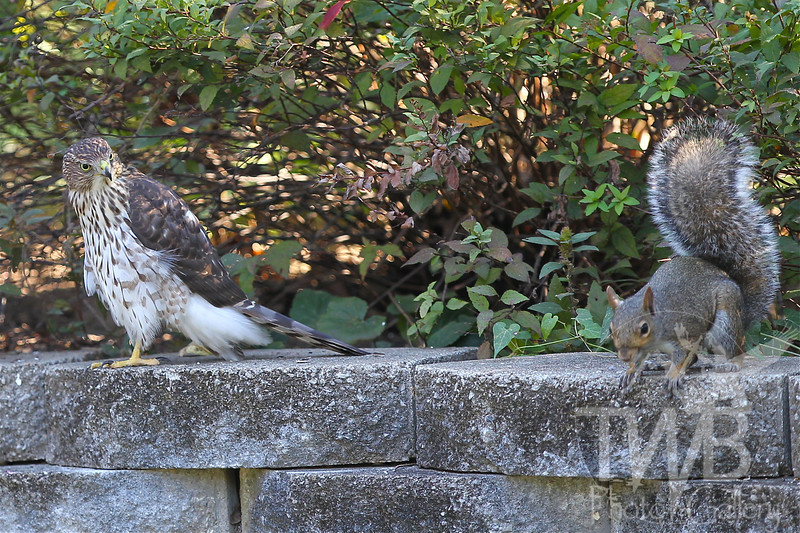 unlikely mates, a Cooper's Hawk and a squirrel