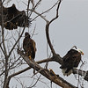 a busy tree, while a mature Bald Eagle eats , two immature Eagles have their own ideas