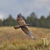 Harrier Hawk flies over Hayden Valley Yellowstone National Park.