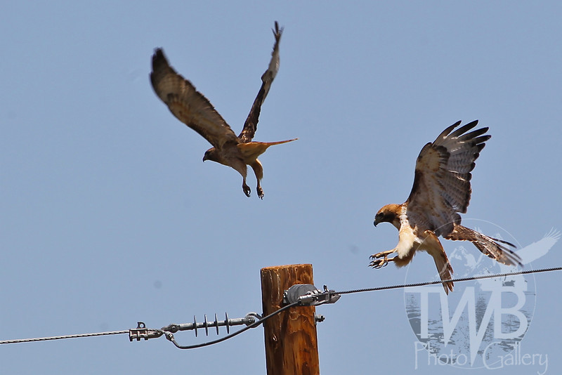 two Red-Tailed Hawks, one post