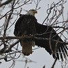 Left turn! mature Bald Eagle at Creve Couer Lake.