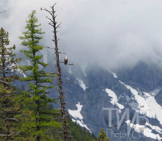 a Bald Eagle's majestic view of Glacier National Park