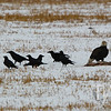 "'Waiting in line "" , Ravens await their turn, as a Bald Eagle stands over a carcass, Antelope Flats, Teton N.P."