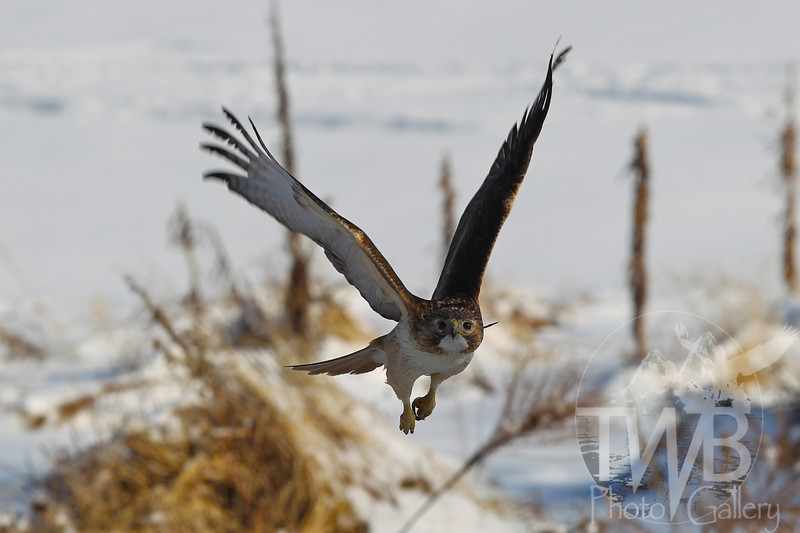 Red-Tailed Hawk hunts in the snow in Forest Park. St. Louis, Missouri.