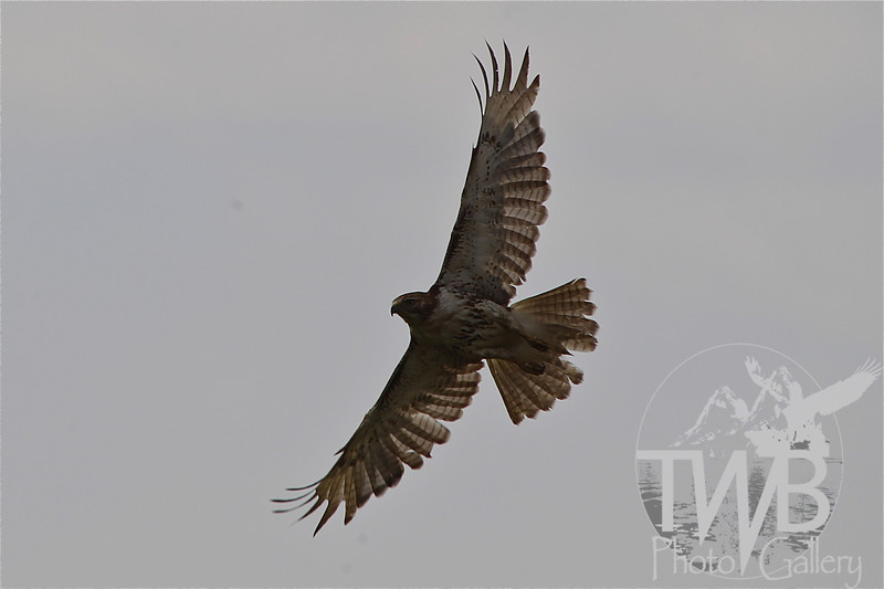 circling for a meal, a Hawk soaring above
