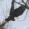 Bald Eagle exploding off the branch, Elsberry, Missouri.
