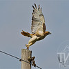 A Red Tail Hawk takes flight