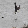 a mature Bald Eagle travels the Mississippi Riverway in search of food
