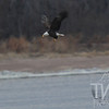 a morning sushi, a mature Bald Eagle over the Mississippi River