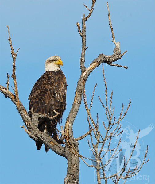 stern look from a maturing Bald Eagle