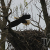 a female Bald Eagle momentarily leaving her nest, in Clarence Canon WLR, Annada, Mo by the Mississippi River.