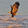 an icy landing, a Bald Eagle in the golden glow of the morning light, on the Mississippi River