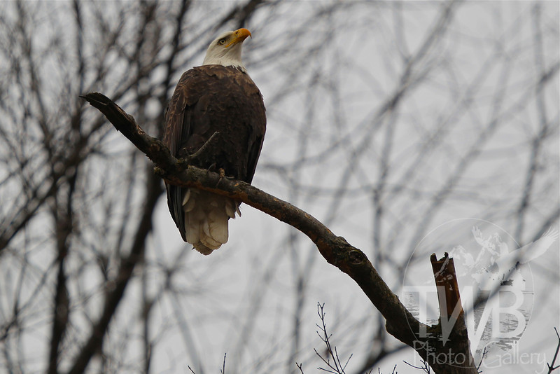 observing the morning, a mature Bald Eagle , perched and ready