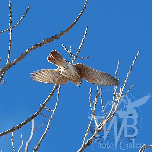 Kestrel in flight #1
