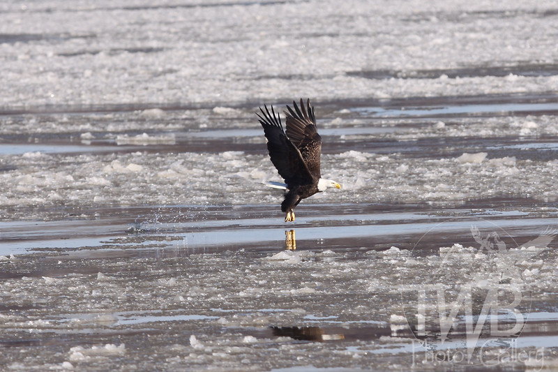 Bald Eagle fishing in the ice flow below the lock and dam in Clarksville, Missouri.