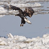 Immature Bald Eagle glides on the strong winds near Clarksville, Missouri.