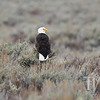 a Bald Eagle, perching on the sage, surveying the territory, plains of the Tetons