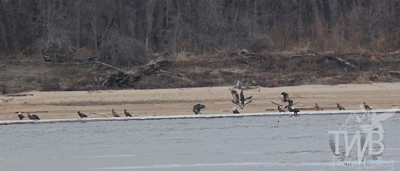 a gathering of Mature and Immature Bald Eagles, along the banks of the Mississippi River