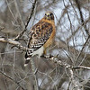 a Red-shouldered Hawk , at Queeny Park