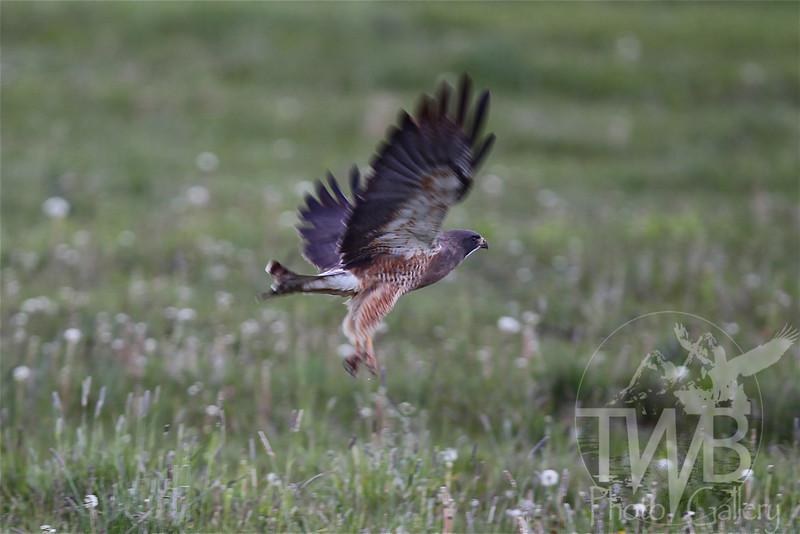 the escape, a Peregrine Falcon takes flight, Teton Village, Wyoming