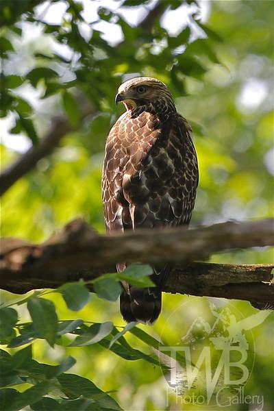 a good vantage point, a young hawk