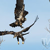Sibling rivalry, two immature Bald Eagles do battle in Clarence Cannon Wildlife Refuge.