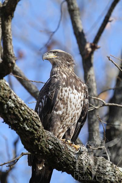 Immature Bald Eagle in Annada, Missouri.