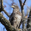 Immature Bald Eagle in Annada, Missouri.