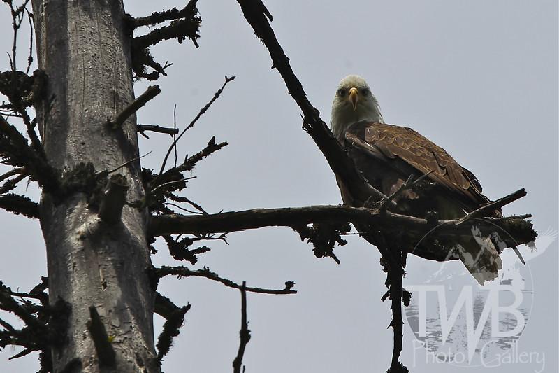 """""""my home"""" a Bald Eagle stakes a claim"""