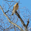 a Red-shouldered Hawk keeps a close eye on the nest