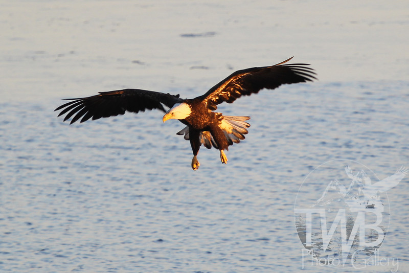 a soaring Bald Eagle,early morning sunlight, on the Mississippi River near Clarksville, Mo.