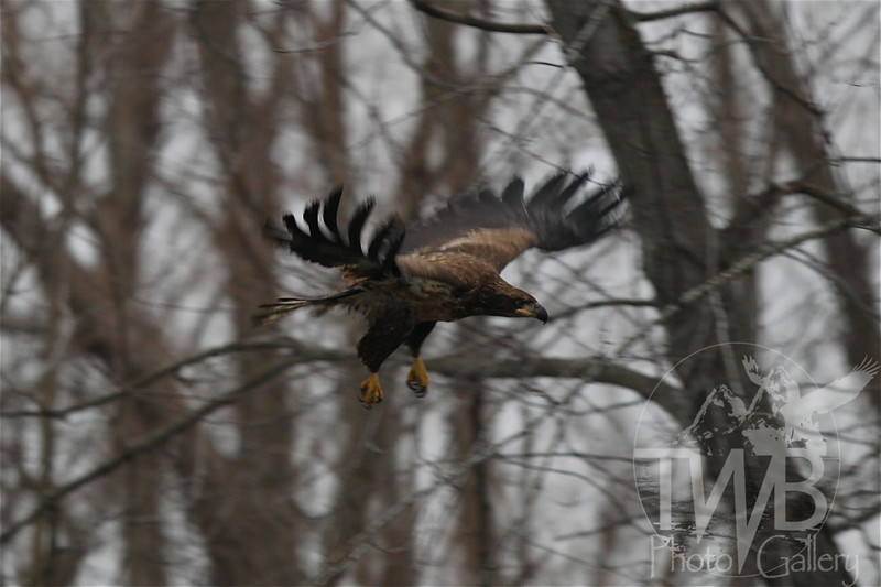 a immature Bald Eagle soaring through the tree tops
