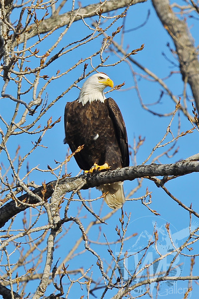 a winter visitor , Bald Eagle in Clarksville , Mo.