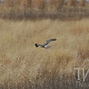 Harrier Hawk hunting