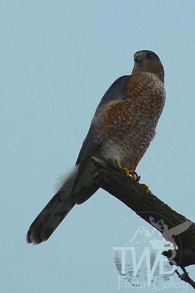 serious Hawk Eyes