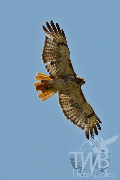 a Red-tail Hawk soars