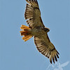 a Red-tail Hawk soars
