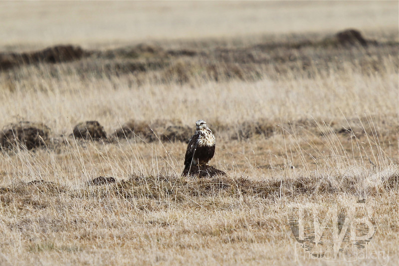 a small mound in the field, offers a perch for a Prairie Falcon