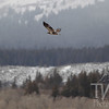 soaring in the Tetons, an immature Bald Eagle