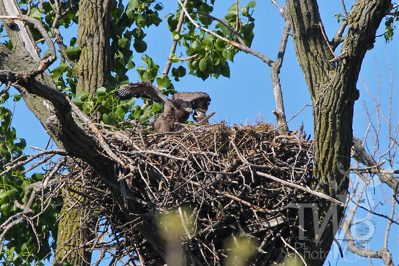 eaglets, approximately 5 weeks old, testing the borders of the nest, Annada, Mo., Clarence Canon W.L.R.