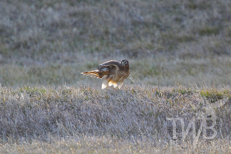 search for food , a Harrier Hawk at the ready