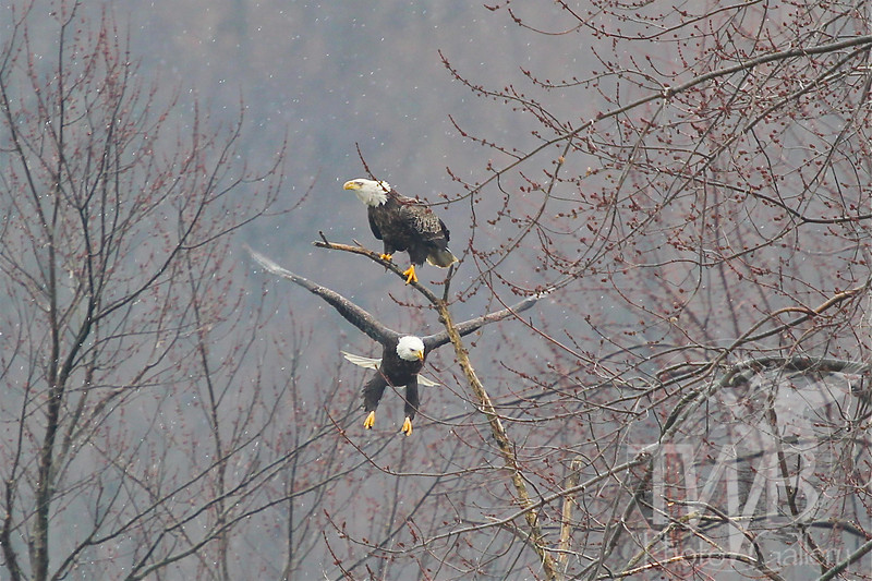 Battle for prime location.  Two Bald Eagles in the snow along the Mississippi.